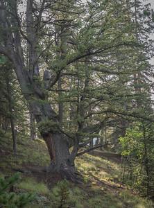 Hobbit Tree?