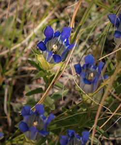 Blue Gentian Flowers