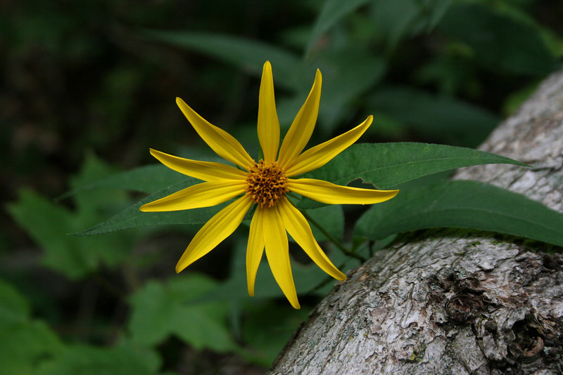 A beautiful Woodland Sunflower...these plants grow in abundance in this region...