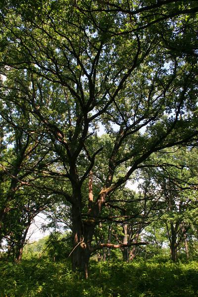 A stately oak...