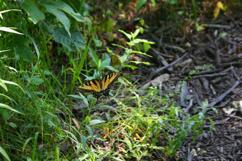 Butterfly experts go easy on me...but I <i>believe</i> this is a Giant Swallowtail...
