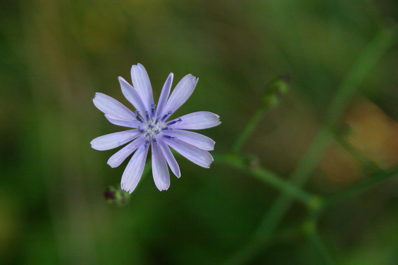 An invasive...but a pretty invasive...Chicory...