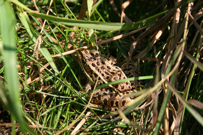 Thanks to Angie's keen eyes we didn't miss this Leopard Frog hiding out along the edge of the trail...