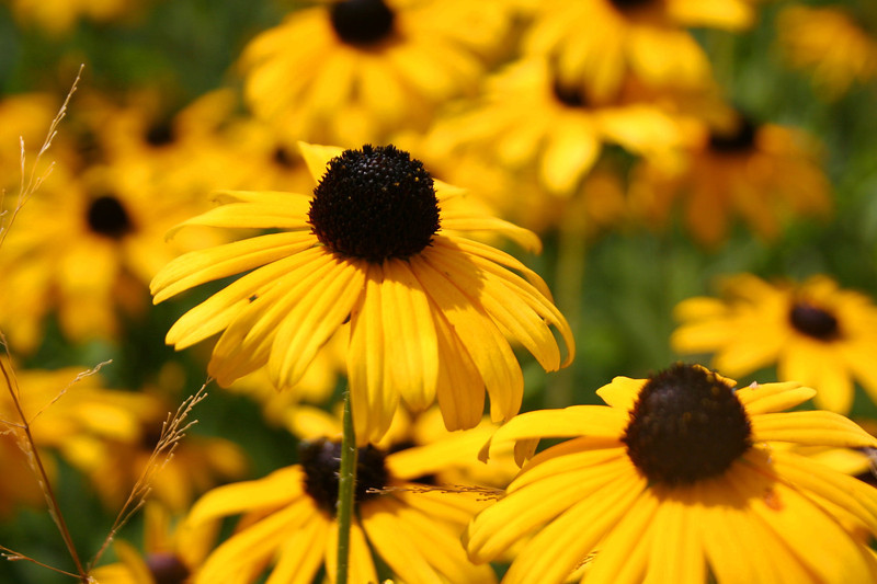 A nice patch of Black-eyed Susan's...