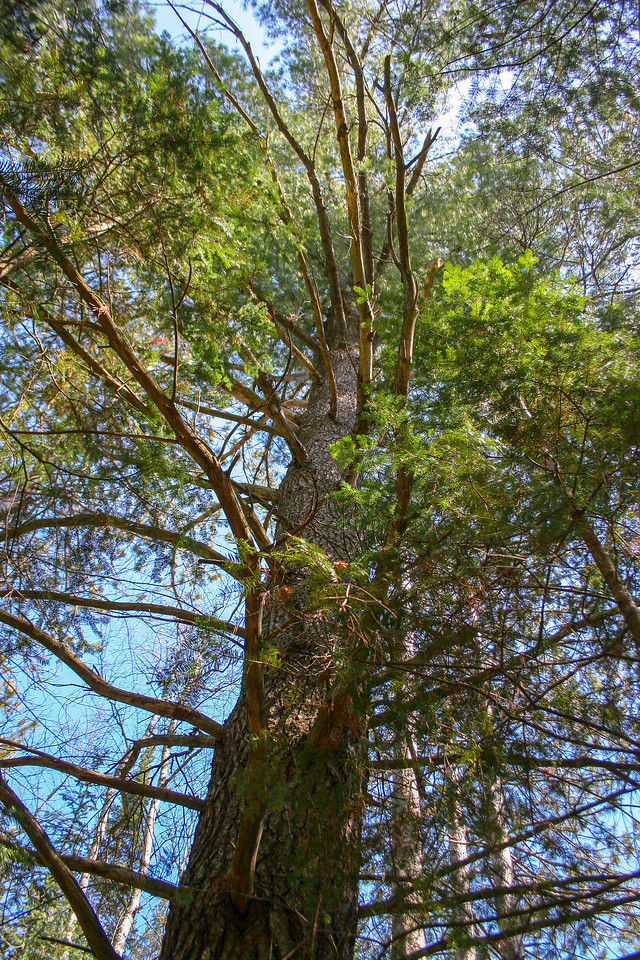 Looking up at the previously pictured Red Pine...
