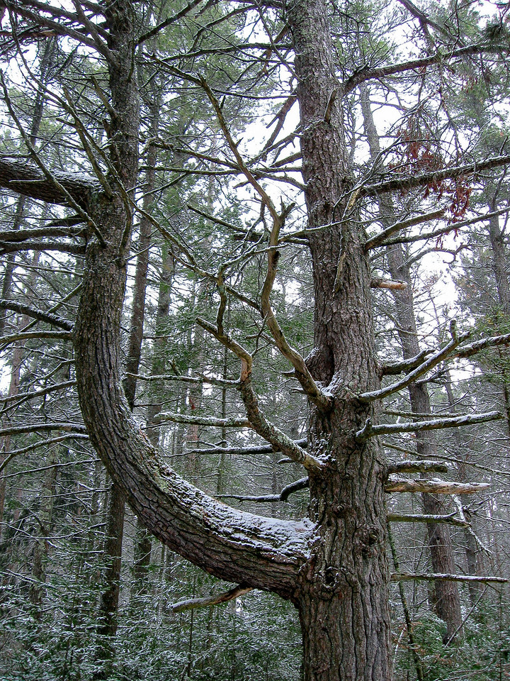 I wonder what caused this tree to grow like this?