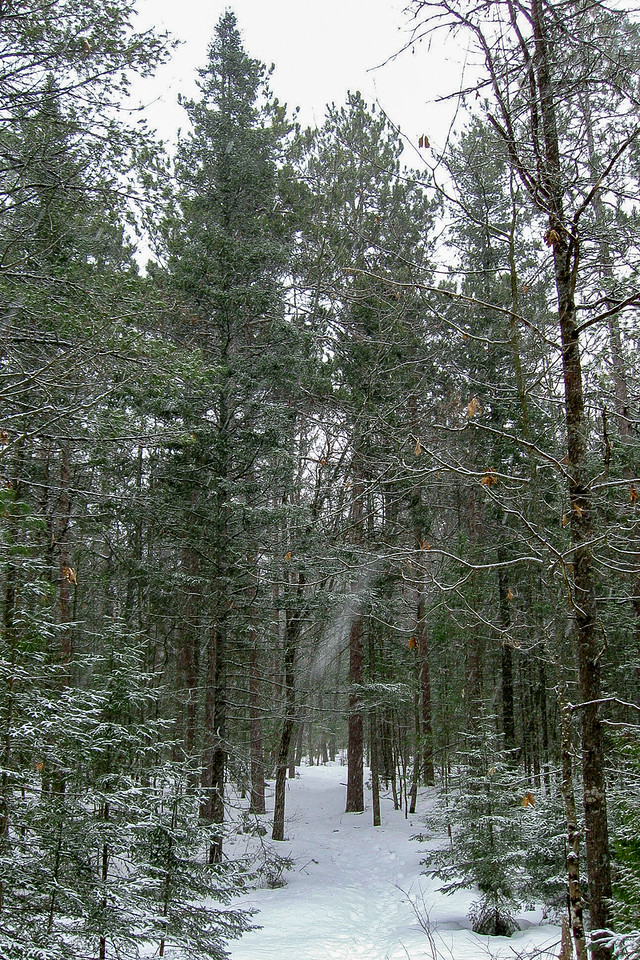 This area is dominated by Pine Forests.  The Red Pine, in particular, rules the woods here...