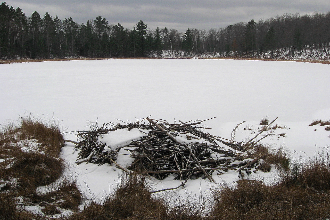 Beaver Lodge #2...looks long abandoned and is located curiously close to the shore...