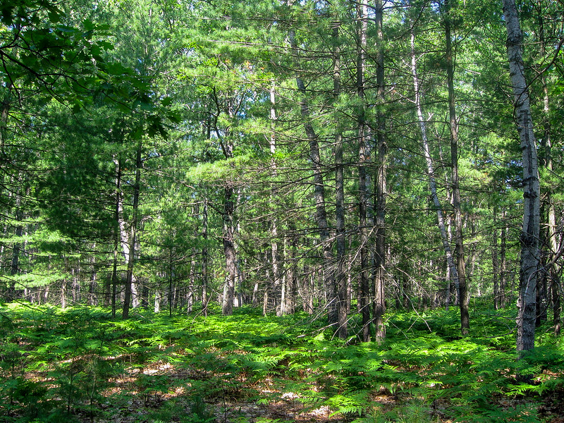 A typical northern Michigan mix of ferns, pines, and hardwoods...