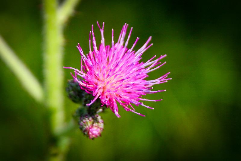 A pretty thistle that Alex picked out...