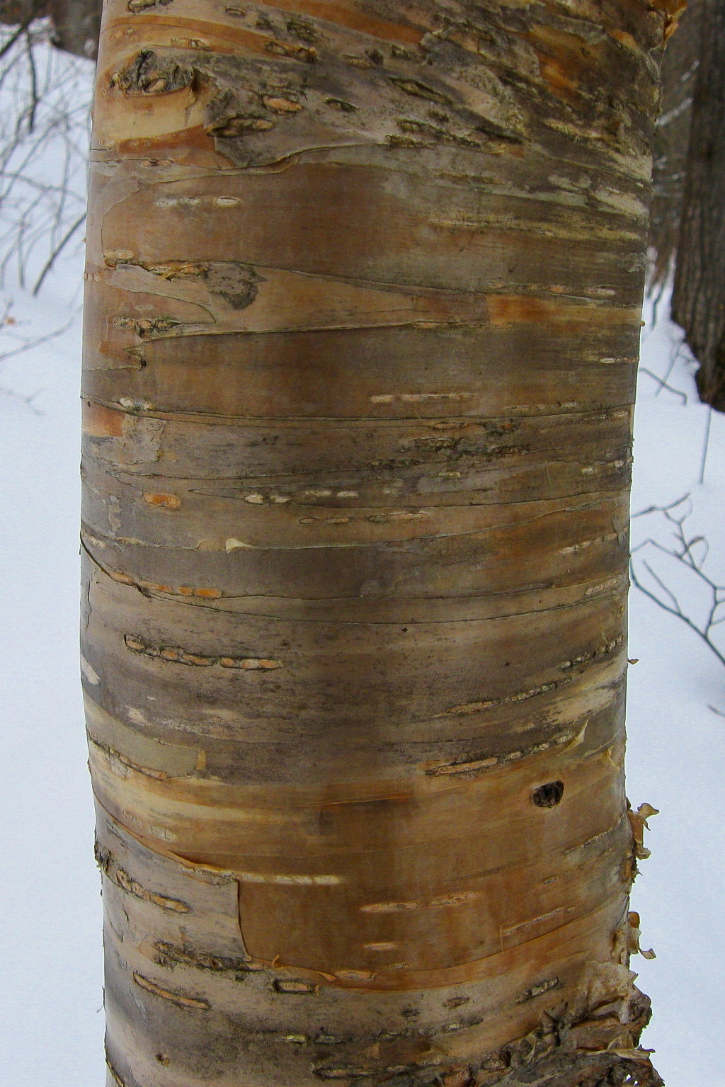 What type of Birch?....yup, a Yellow Birch, you got it...