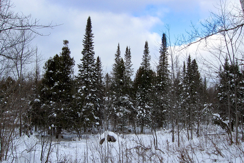 A stately row of Black Spruce starkly pointing to the sky...
