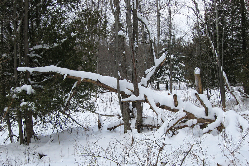 A thick coating of snow is always adequate enough to make even an old fallen tree look interesting...