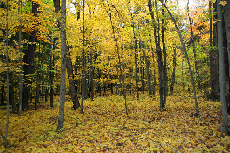The young maples in this area create a beautiful golden carpet...