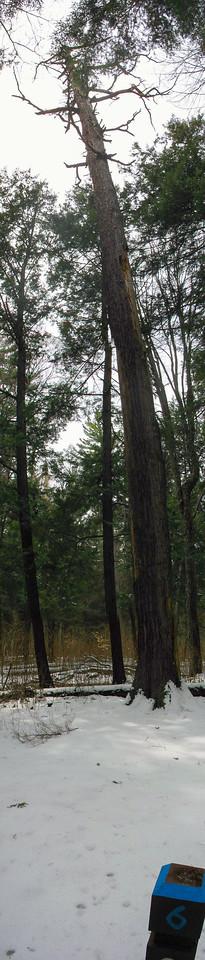 #6 - The Monarch Pine