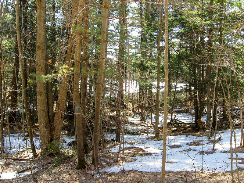 Entering a small conifer woods near the unnamed lake west of Weber Lake...
