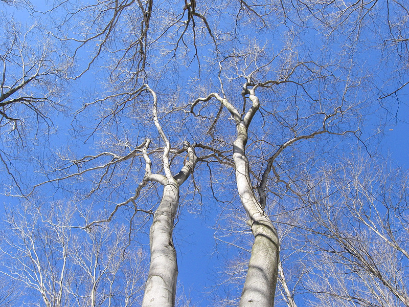 Looking up into the branches of some impressively large Beech trees...