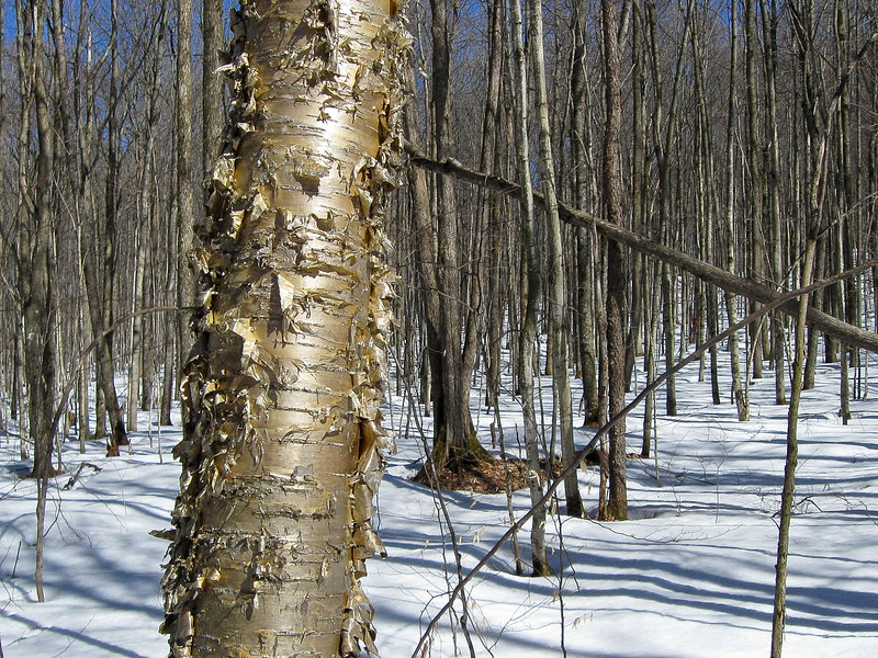 A Yellow Birch shining in the spring sunshine...