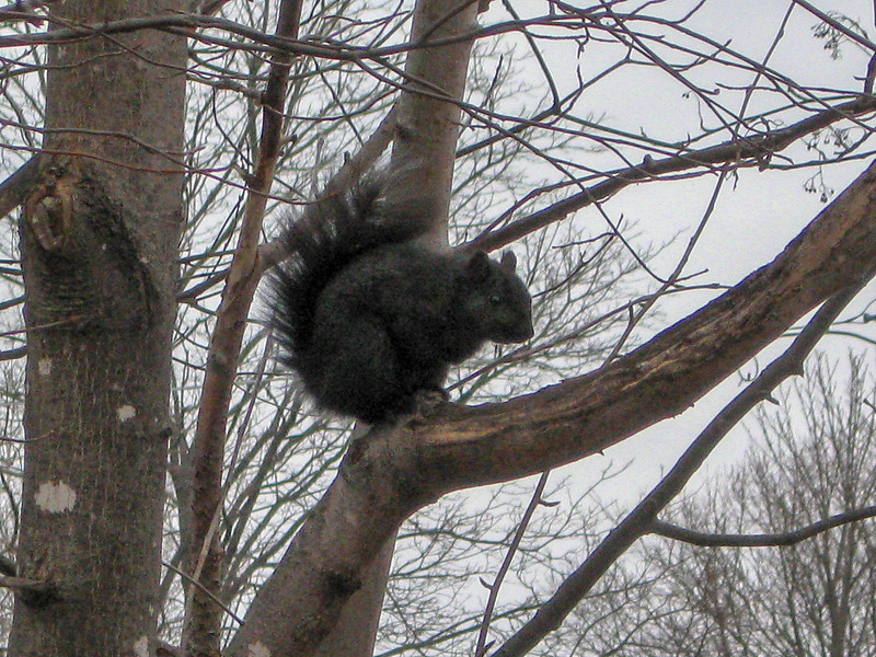 ...and this curious Black Squirrel...