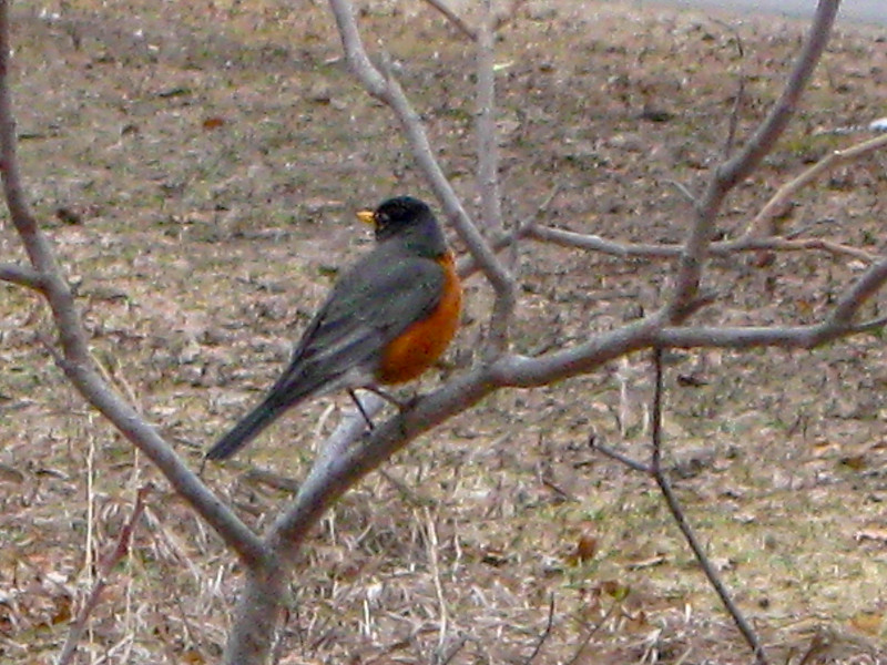 An American Robin, always a good sign spring is coming (eventually)...