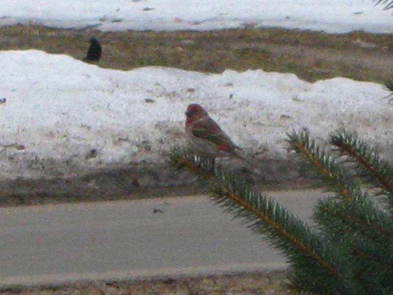 ...and this fearless Purple Finch...