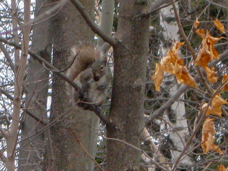 An Eastern Gray Squirrel pauses with a mouthful to gaze at a strange two-legged intruder...