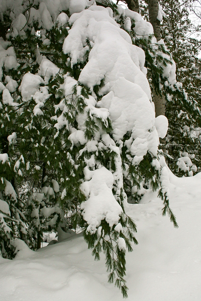 A heavy blanket of snow straining a White Pine...