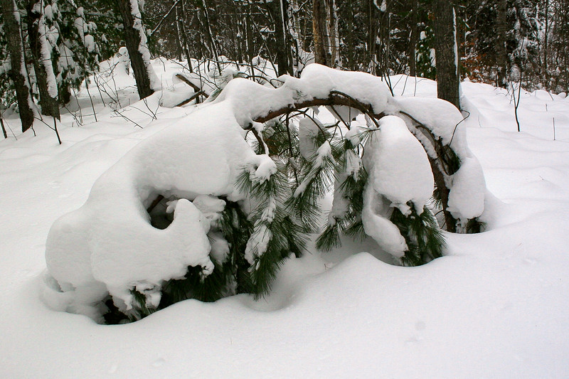 A young pine having a rough time with the heavy snow...
