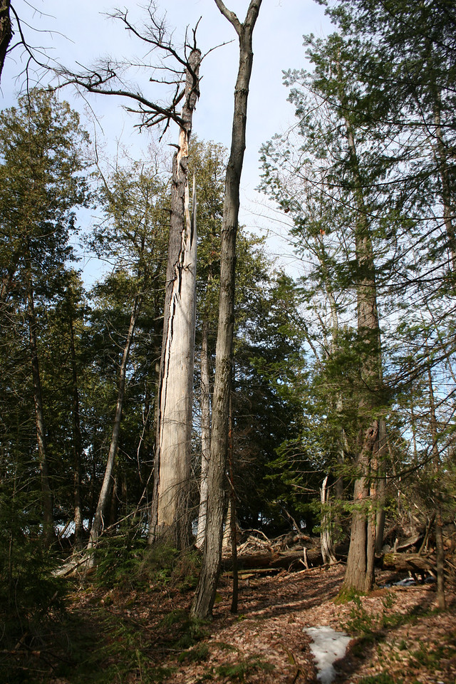 This now-deceased Hemlock looks like it was once a giant!