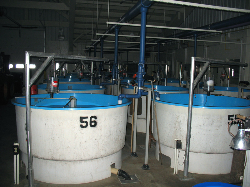 "After hatching the ""fry's,"" as they're called, are moved to these holding tanks."