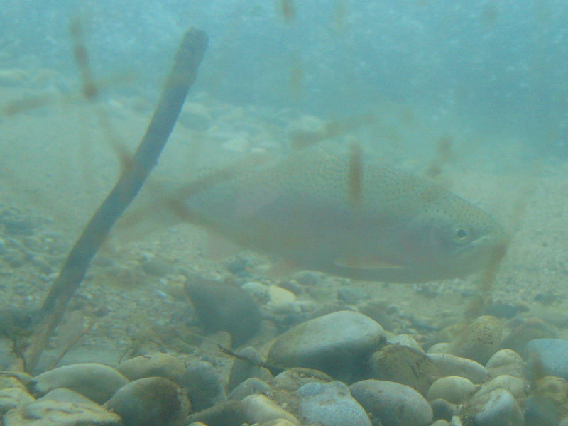 This was as good a shot as I could get of this Rainbow Trout who was nice enough to make an appearance at the stream viewing chamber.