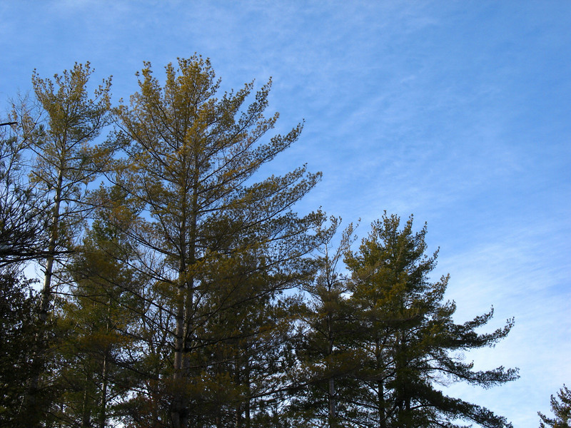 The majestic branches of the White Pine, State Tree of Michigan, against a blue winter sky.