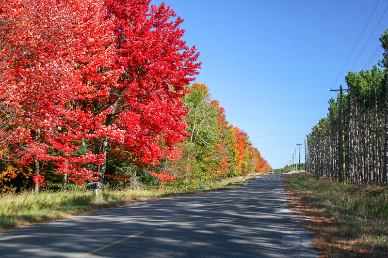 A row of blazing maples along Pickeral Lake Road about a mile or so from our house...