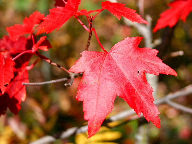 Nothing says fall like a scarlet red maple leaf...