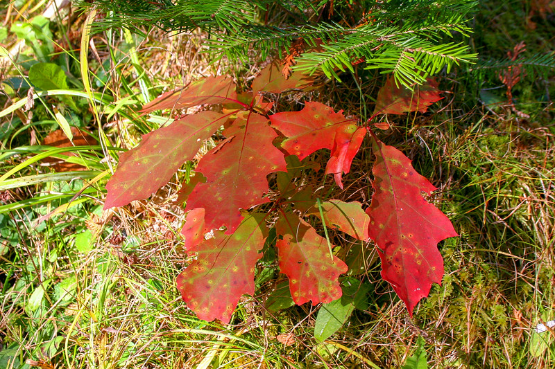 A tiny Oak adding color to the understory...