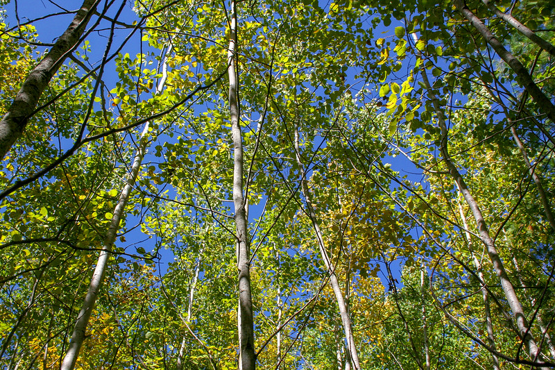 An Aspen grove stubbornly refusing to change color yet...
