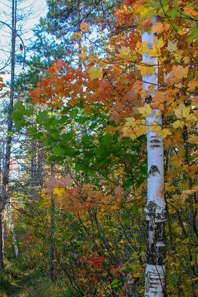 Fall color enveloping a young Paper Birch...