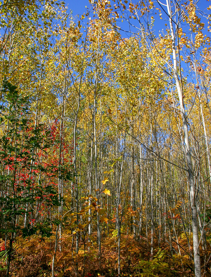 A more colorful grove of aspens...