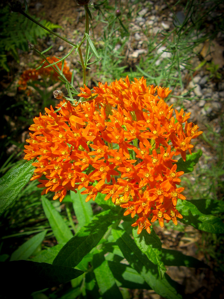 Butterflyweed...one of my favorites...grows all over in this region...