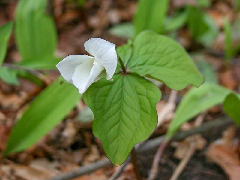 Large-flowered Trillium