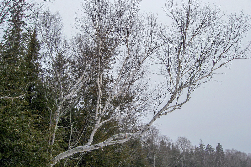 Refusing to be out-competed...this birch is doing a really good job of reaching out for some light...