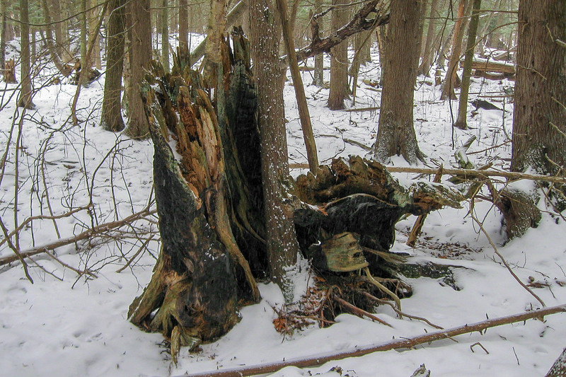 The burned-out remnants of what must have been a very impressive tree...at least 3-feet in diameter!