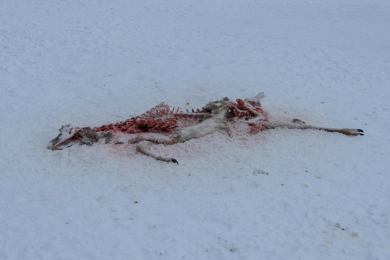 I scared off a noisy flock of crows as I passed this casualty of the winter season...
