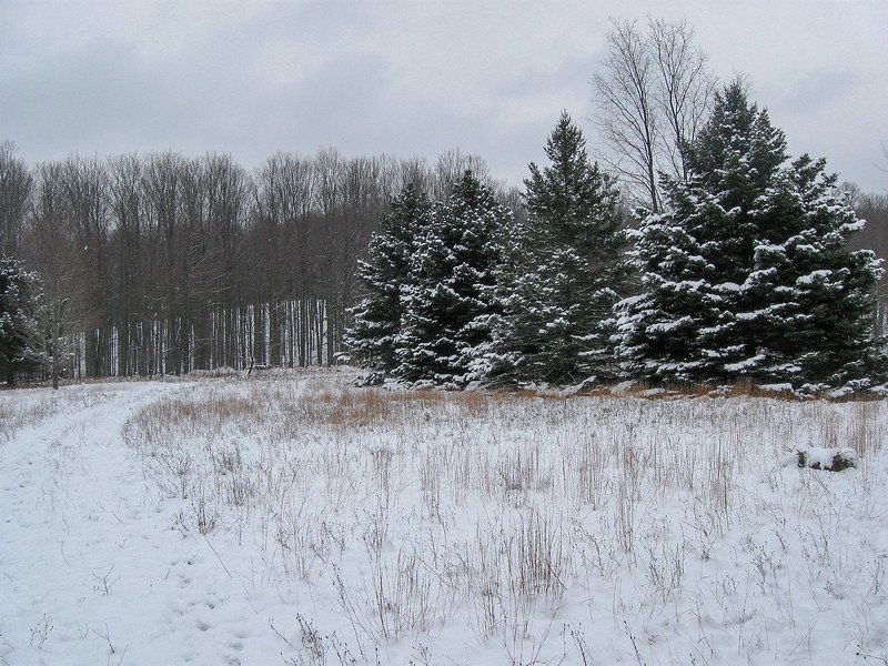 The huge spruce along the edge of the meadow looked too nice to be natural...