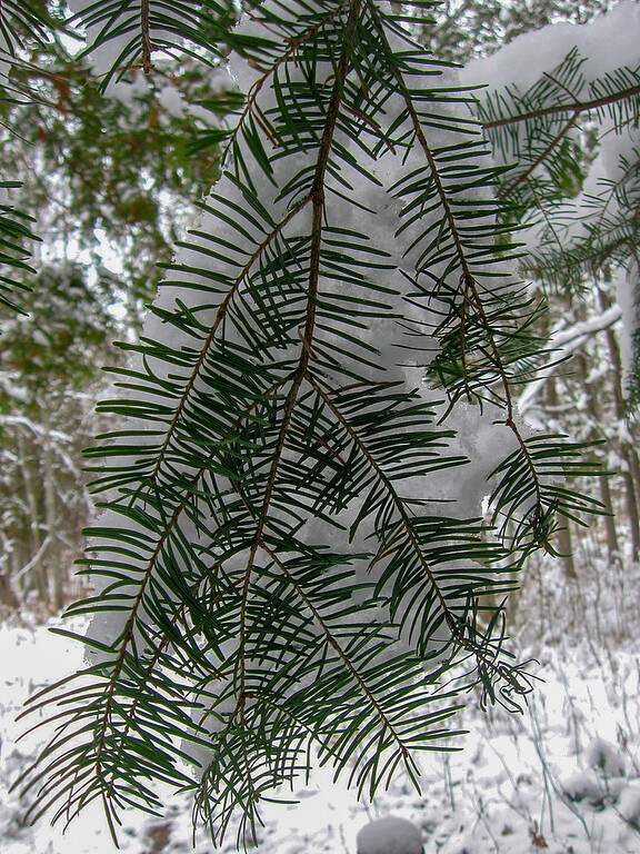 Balsam Firs are exceedingly good at catching snow in their branches, deer like to take shelter beneath them because of this...