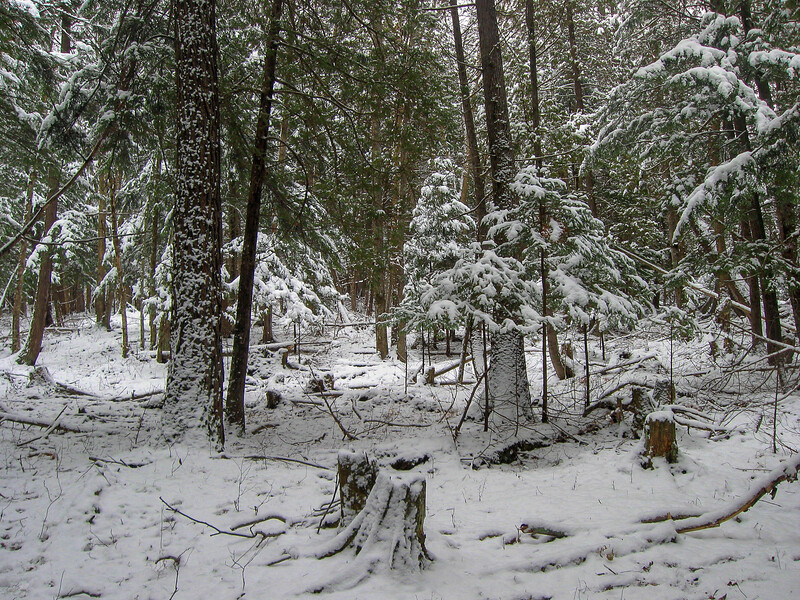 I decided to wander off trail and follow the river upstream a ways.  The floor of the conifer swamp was quite open as conifer swamps go...there was also some evidence of some selective logging which I found interesting...