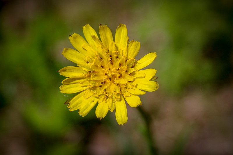 No, not a dandelion, this is a Canada Hawkweed...they'll become more common as the summer wears on...