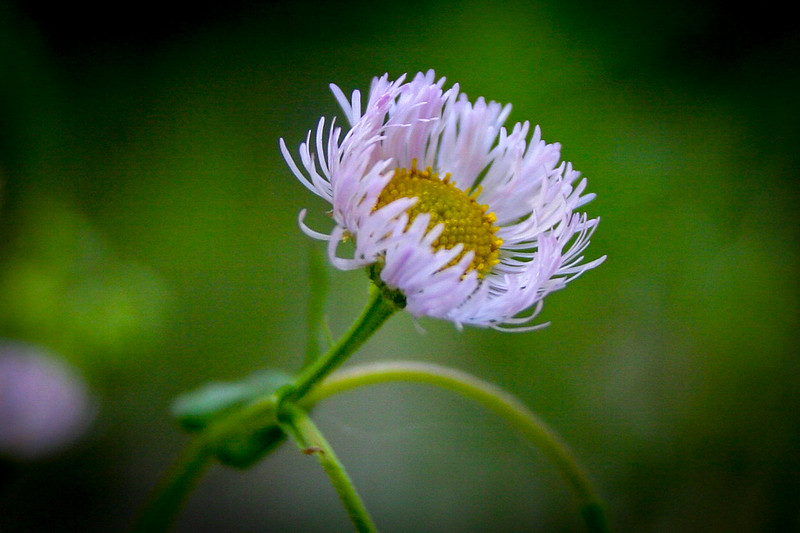 ...and here the rather unremarkable Daisy Fleabane...