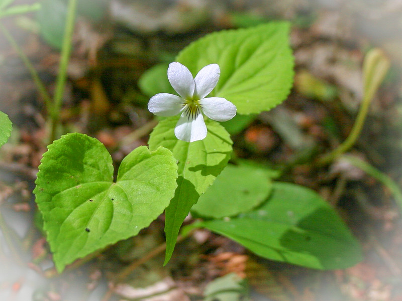 A solitary Canada Violet gleams in the sun on the way to the Pigeon River...