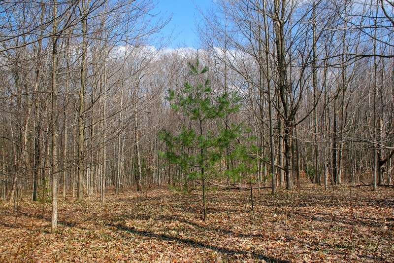 A lone pine amongst the hardwoods...